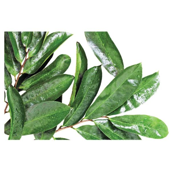 Adraa Soursop Fresh Leaves